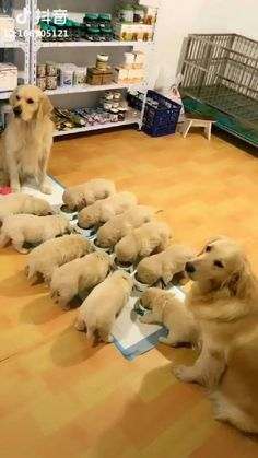 Top Cute Animals baby 2018 Top Funny Videos pictures EVER LoL Top HaHaHa most in the world Top Cute Animals Baby 2018 Top Funny Videos Bilder aller Zeiten Top HaHaHa die meisten in der Welt Lab Puppies, Cute Dogs And Puppies, Baby Dogs, I Love Dogs, Pet Dogs, Dog Cat, Pets, Doggies, Cute Funny Animals