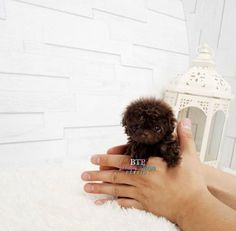 Amazing Adorable Lil Mr. Brownie ~ Chocolate Micro Teacup Male Poodle #teacupdogslist #teacupdogs #teacupbreeds #popularTeacups                                                                                                                                                                                 More
