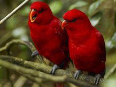pássaros vermelhos