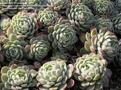 PlantFiles: Mexican Snowball, Mexican Gem, Hens and Chicks, Pearl ...