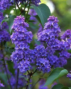breathtaking lilacs...pretending to be violets..lol...I love them both..dkw