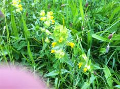 Yellowrattle (rhinanthus species): 40-50 species from the Northern Hemisphere.