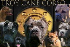 The Cane Corso Breed - great breed info