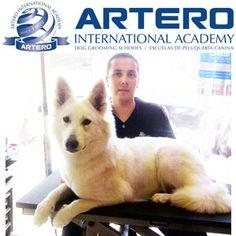 Patricio Bustos, alumno de Artero International Academy, nos muestra sus prácticas con la raza Pastor Suizo.    En la foto alumno realizando el arreglo después del baño, cepillado y secado.  ¡¡Genial!!    Si quieres aprender peluquería canina como Patricio Bustos, llámanos al 93 515 00 35