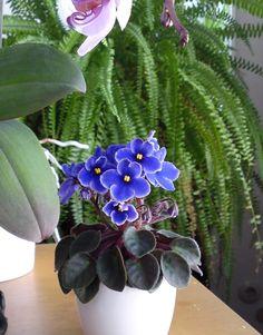 Saintpaulia ionantha - Usambaraveilchen