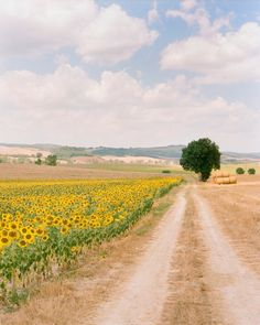 A Tuscan field of sunflowers between Florence and Barga, Italy. I would love to be walking down that warm dirt road in my bare feet!
