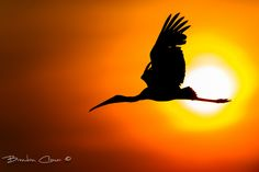 "Ultimate Africa by Brendon Cremer. ""A yellow billed stork silhouetted as it flies past the rising sun shortly after leaving the breading colony and roosting site along the Chobe River, Botswana."""