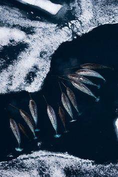 howitzerliterarysociety:  A cavalcade of narwhals