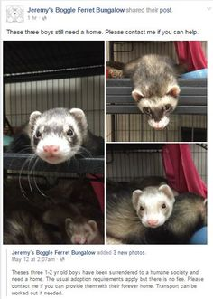 Nicole runs Jeremy's Boggle, a ferret rescue in Alabama. One of the kindest people that I have ever known. Look for her on FB Animal Adoption, Pet Adoption, Patron Saint Of Animals, Montgomery Alabama, Types Of Animals, Animal Control, Small Breed, The St