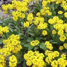 Sýtožlté kvety tarice s jemnou medovou vôňou vyniknú na skalke alebo múriku. Ideálna na kombinovanie s iberkami a floxami šidlolistými.