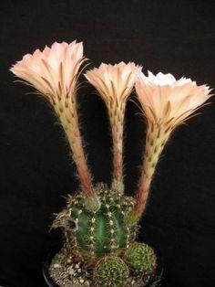 Echinopsis 'Spring Blush'