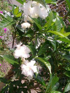 Sara said plantas e cactos -  flor gardênia, muito linda!