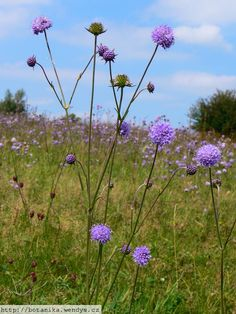 'Devil's Bit Scabious' provides an important nectar source for butterflies and bees.