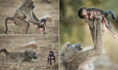 Do it again mum! Delight of the baby baboon as mum plays aeroplane