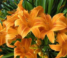 Hemerocallis 'Rocket City' is an eye-catching early midseason Daylily which produces blooms of bittersweet orange trumpets with a contrasting burnt-orange eyezone. Both petals and sepals are delicately recurved.