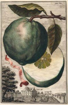Limea da Valenza. Nurnbergische Hesperides. Johann Christoph Volkamer, Johann Christoph Volckamer.