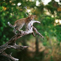 leopard Predator, Tanzania, Savannah Chat, Africa, Babies, Cats, Photos, Animals, Babys