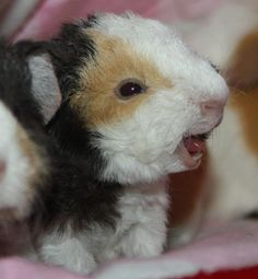 **Guinea Pig. Laughing