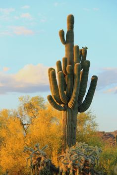 The many arms of the Saguaro by Gary Carlson