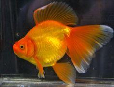 red_veiltail_goldfish_2011b.jpg 275×210 pixels