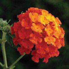 Blooms all summer. Sun, drought tolerant.