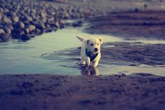 A white dog running through a muddy puddle....Soggy Doggy Doormat please!