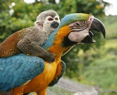 Awkward Friendships: Squirrel Monkey catches ride on a Blue (and gold) Macaw.  Both animals live at a hotel in Colombia.