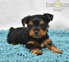 #YorkshireTerrier #Charming #PinterestPuppies #PuppiesOfPinterest #Puppy #Puppies #Pups #Pup #Funloving #Sweet #PuppyLove #Cute #Cuddly #Adorable #ForTheLoveOfADog #MansBestFriend #Animals #Dog #Pet #Pets #ChildrenFriendly #PuppyandChildren #ChildandPuppy #LancasterPuppies www.LancasterPuppies.com