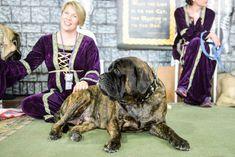 Mastiff Dog Breed Information Mastiff Dog Breeds, Akc Breeds, Mastiff Puppies For Sale, History, Health, Historia, Health Care, Salud