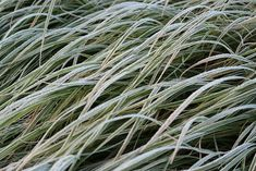 De winter is begonnen, de vast planten gaan in diepe rust. Alpine Meadow, Ornamental Grasses, Mother Earth, Herbs, Plants, Herb, Plant, Planting, Mother Nature