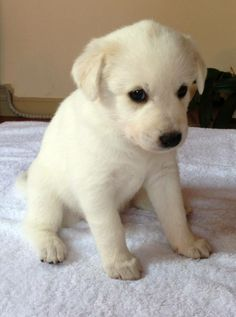 Our 4 weeks old Canaan Dog puppies