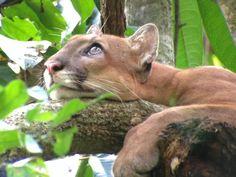 Beautiful up-close picture of the puma taken by Kenneth. Corcovado National Park, February 29th and 30th