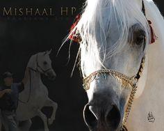 Mishaal HP With Antoño Menéndez.  ArabiansLtd.com