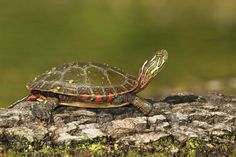 Midland Painted Turtle Information and Pictures - Pictures Blanding's Turtle, Red Ear Turtle, Wood Turtle, Turtle Time, Turtle Information, Turtle Sketch, Alligator Snapping Turtle, Kawaii Turtle, Turtle Images