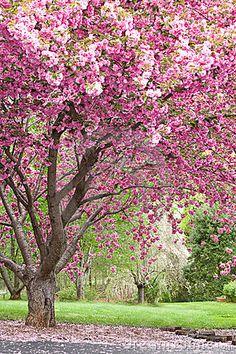 Flowering Tree Identification | Pink Flowering Cherry Trees Royalty Free Stock Photos - Image: 4225438