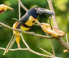 Collared Aracari toucan in Costa Rica