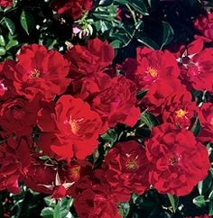 Red Ribbons - Ground Cover Rose  Available @ Bluemel's Garden Center 2015 www.bluemels.com