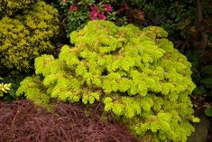 Abies nordmanniana 'Golden Spreader' with the new spring growth