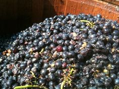 The good, the bad and the ugly.  Closson Chase's first Pinot Noir being sorted.  Brix 22.1
