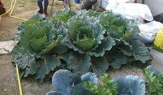 Savoy Cabbages