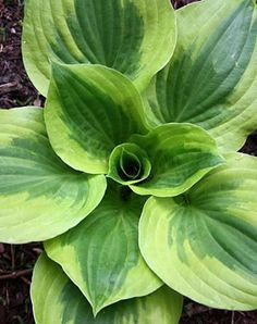 Hosta 'Summer Lovin' (M. Zilis part sun to lt shade. 22 tall x 50 wide clump of corrugated dark green leaves surrounded by a wide golden border…exceptional garden vigor. Early summer 30 tall scapes of light lavender flowers… Dry Shade Plants, Shade Garden Plants, Hosta Plants, Shade Perennials, Plantain Lily, Hosta Varieties, Sempervivum, Heuchera, Lavender Flowers