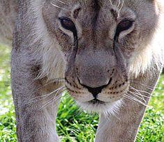 Drakenstein-leeupark | Vrede aan einde van 'n harde lewee