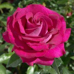 Rosier BELLES RIVES ® Meizolnil Charlotte Rampling, Dame Nature, Valentine Images, Flower Letters, Liv Tyler, Special Flowers, Scott Fitzgerald, Plantation, Vintage Valentines
