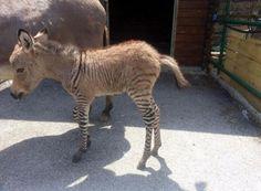 """La madre di Ippo è un asino dell'Amiata – esemplare, peraltro, di una specie in via di estinzione affidato alla struttura proprio per garantirne la riproduzione – il padre è appunto una zebra, sequestrata anni fa a uno zoo. L'accoppiamento non è stato voluto """"ma tempo fa – racconta la donna, proprietaria del vivaio – la zebra ha scavalcato il recinto e ha trovato l'asina, così…"""".  Come i muli, tuttavia, sono geneticamente incapaci di riprodursi."""