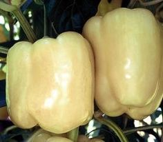 BIANCA HYBRID - This is a premium-quality ivory bell pepper with 3 to 4 lobes and blocky shape. It retains its creamy white color for an extended period before turning peach then orange, and finally light red. Sweet Bell Peppers, Stuffed Sweet Peppers, Types Of Peppers, Cabbage Seeds, Pepper Seeds, Tomato Seeds, Veggie Tray, Green Cream, Plants