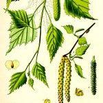 Бреза (Betula pendula) - Отличителни белези Bushcraft, Diy Beauty, Plant Leaves, Beauty Products, Plants, Health, Cosmetics, Health Care, Plant