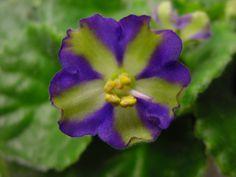 """African violet flower, chimera """"Yukako"""""""