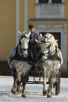 Kladruber horses