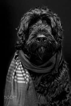 Nelson the Black Russian Terrier by Alejandro Guerrero