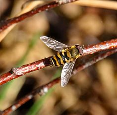 Bosbandzweefvlieg - Syrphus torvus